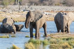 Elephants in Etosha Stock Image
