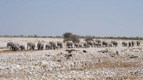 Elephants in Etosha National Park Namibia Royalty Free Stock Photography
