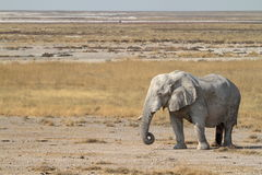 Elephants in the Etosha National Park in Namibia Royalty Free Stock Images
