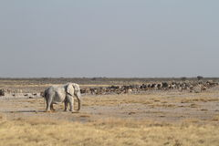 Elephants in the Etosha National Park in Namibia Stock Photography
