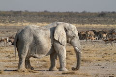 Elephants in the Etosha National Park in Namibia Royalty Free Stock Photo