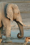 Elephants in the Etosha National Park in Namibia Royalty Free Stock Photos