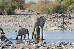 Elephants in Etosha Royalty Free Stock Photography