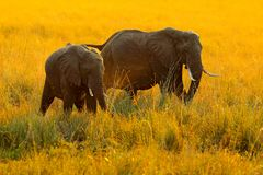 Elephants, evening sun in Africa. Elephants walking in water yellow and green grass, big animal in nature habitat, Chobe sunset, royalty free stock photos