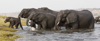 Elephants exiting a river crossing with young elephant in front Royalty Free Stock Photography