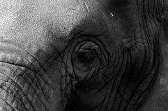 Elephants Eye. Detailed close up of an elephants head stock image