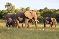 Elephants family. Elefhants in the chobe national park Stock Image