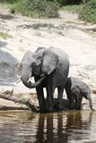 Elephants family. Elefhants in the Chobe river in Botswana Stock Photo