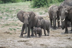 Elephants family. Elephants in the Chobe river in Botswana Stock Photography