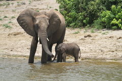Elephants family. Elephants in the Chobe river in Botswana Stock Image