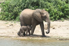Elephants family Royalty Free Stock Photo