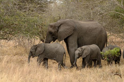 Elephants Family. This are three elephants in the Kruger National-Park in South Africa Royalty Free Stock Photos