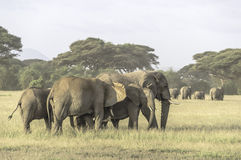 Elephants family. Photo taken during a safari in Kenya in the masai-mara national park Stock Photography