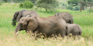 Elephants family, Africa Stock Photography