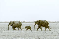 Gruene fliegen. Family of African elephant in the southern luangwa national park in zambia Stock Photos