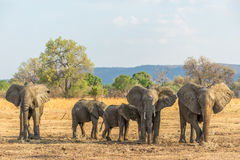 Flies. Family of African elephant in the southern luangwa national park in zambia Stock Image