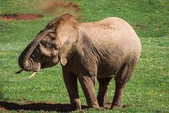 Elephants family on African savanna. Safari in Amboseli, Kenya, Stock Image