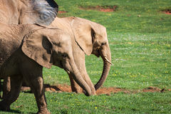 Elephants family on African savanna. Safari in Amboseli, Kenya, Royalty Free Stock Image
