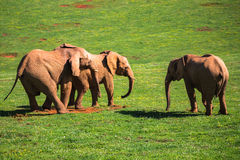 Elephants family on African savanna. Safari in Amboseli, Kenya, Stock Images