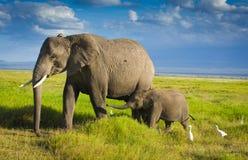 Elephants family in amboseli Stock Images