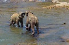 Elephants family Asia elephant. National park Pinnawala. Sri Lanka Stock Image