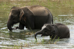 Elephants. Family of elephants came to drink Royalty Free Stock Photos