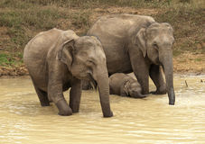 Elephants. Family of elephants came to drink Royalty Free Stock Image