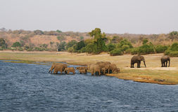 Elephants family in Chobe riverfront Royalty Free Stock Photography