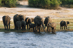 Elephants family in Chobe riverfront Royalty Free Stock Photo