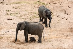 Elephants family with cute baby royalty free stock photo