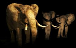 Elephants family into darkness. Three elephants coming out from darkness, symbolizing elephants killing for ivory traffic that  is exterminating the species stock illustration