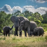 Elephants family in Kruger National Park, South Africa royalty free stock photo
