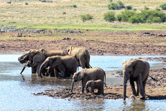 Elephants family in National  Park, South Africa Royalty Free Stock Image