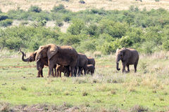 Elephants family in National  Park, South Africa Stock Photo