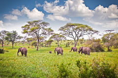 Elephants family on pasture in African savanna . Tanzania. Stock Image