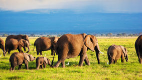 Elephants family on savanna. Safari in Amboseli, Kenya, Africa. Elephants family and herd on African savanna. Safari in Amboseli, Kenya, Africa royalty free stock image