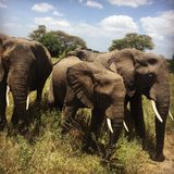 Elephants family in Tanzania catched just next to us royalty free stock photography