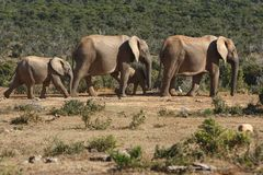 Elephants family walking Stock Photo