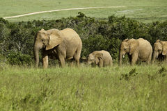 Elephants family walking Royalty Free Stock Image