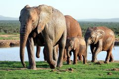 Elephants Family at Waterhole Royalty Free Stock Images