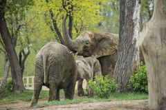 Elephants. A family of elephants at the zoo stock image