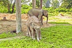 Elephants on the farm Stock Images