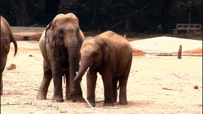 Elephants stock footage