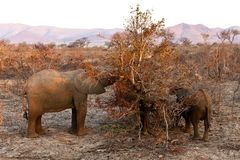 Elephants feeding  Between the bushes Royalty Free Stock Images
