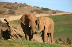 Elephants feeding each other Royalty Free Stock Image