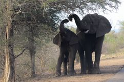 Elephants feeding in the Kruger Park Royalty Free Stock Images