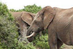 Elephants Feeding Royalty Free Stock Images