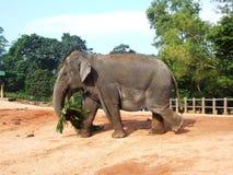 Elephants feeding in Pinnawala Stock Photo