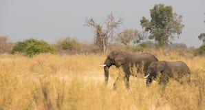 Elephants feeding Stock Images