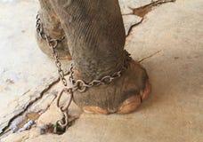 Elephants feet with shackles Stock Photos